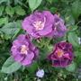 Rosa 'Rhapsody in Blue'  (Rosa)