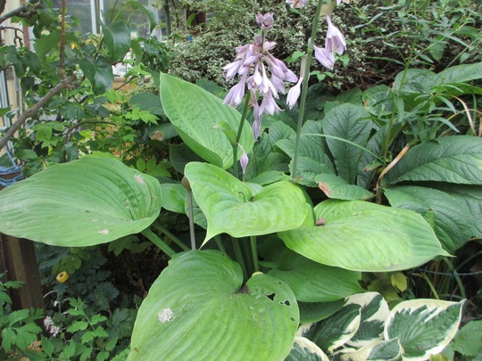Hosta 'Sum and Substance' (Hosta)