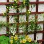 Jasminum humile 'Revolutum' - Evergreen scented yellow jasmine (Jasminum humile (Yellow jasmine))