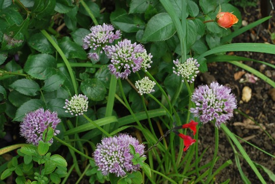 Allium Senescens... (Allium senescens (German Garlic))