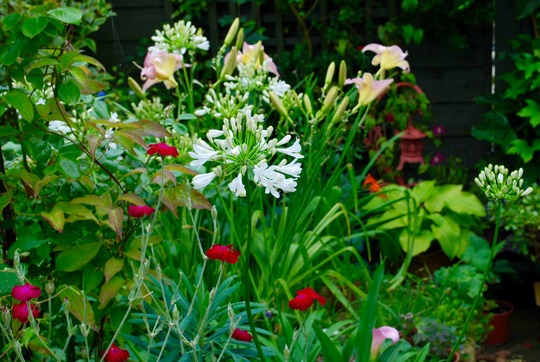 White Agapanthus..... (Agapanthus campanulatus (African blue lily) White)