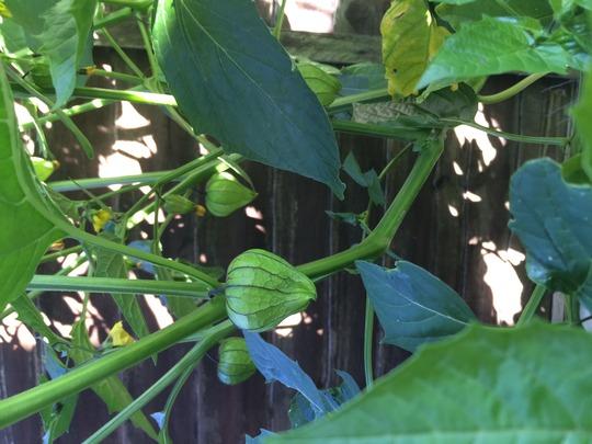 I'm growing tomatillos