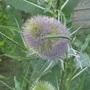 Teasel changing colour (Dipsacus fullonum (Teasel))