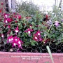 Fuchsias flowering on balcony railings 09-07-2015 003 (Fuchsia)