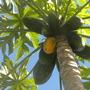 Carica papaya 'Thai Dwarf' - Thai Dwarf Papayas (Carica papaya 'Thai Dwarf')