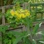 Senecio cannabifolia