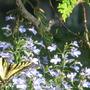 Swallowtails like lobelia