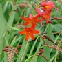 Crocosmia_jackanapes_2015