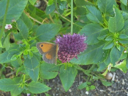 Gatekeeper Butterfly on Allium