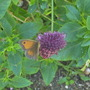 Gatekeeper Butterfly on Allium