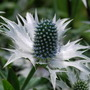 Found it taken in 2009 !! Amy. (Eryngium giganteum (Miss Willmott's ghost))