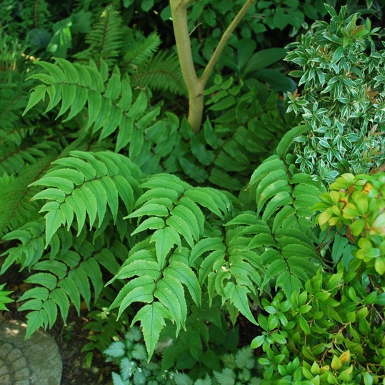 Cyrtomium falcatum...(Japanese holly fern) (Cyrtomium falcatum (Japanese Holly Fern))
