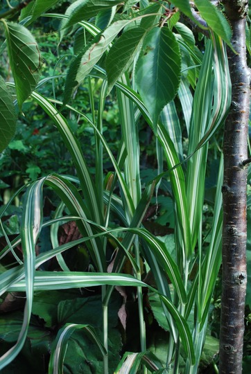 Miscanthus sinensis Cabaret.... (Miscanthus sinensis Cabaret.)