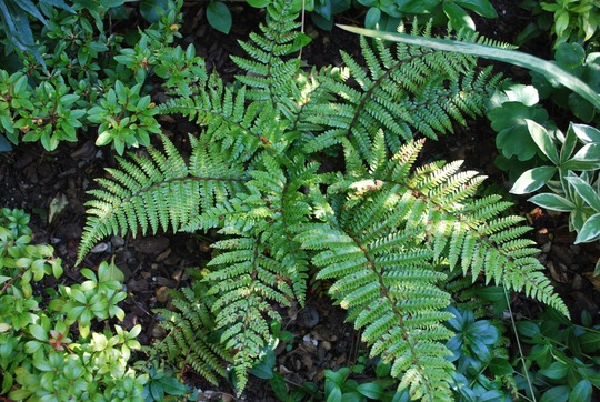 Polystichum polyblepharum.. (Polystichum polyblepharum)