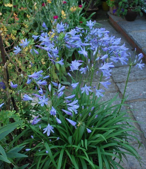 A pot of Agapanthus Lilliput.. (Agapanthus africanus (African blue lily) Lilliput)