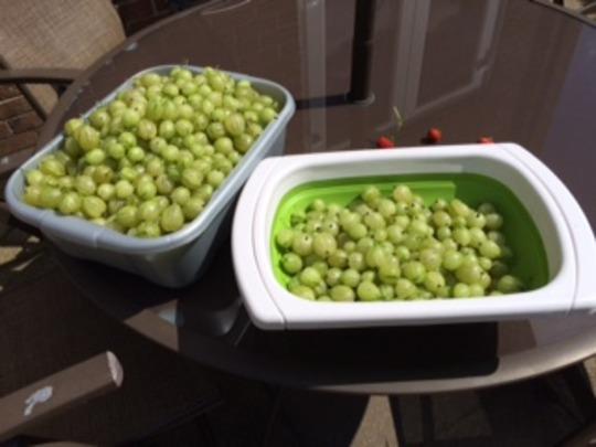Gooseberry harvest 2015