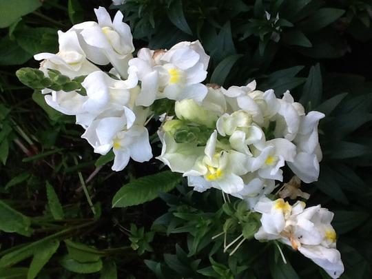 Snapdragon white (Antirrhinum majus)