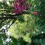 Thalictrum flavum (Thalictrum flavum (Common Meadow Rue))