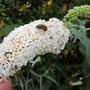 Beloved of Bees (Buddleja davidii (Butterfly bush))