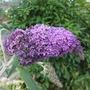 Purple Buddleja (Buddleja davidii (Butterfly bush))