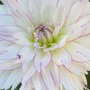 Dahlia Crazy Love with visitor