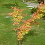Coral bark Acer