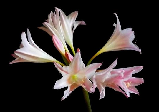 Amaryllis Bella-donna x Crinum - 'Howardii'
