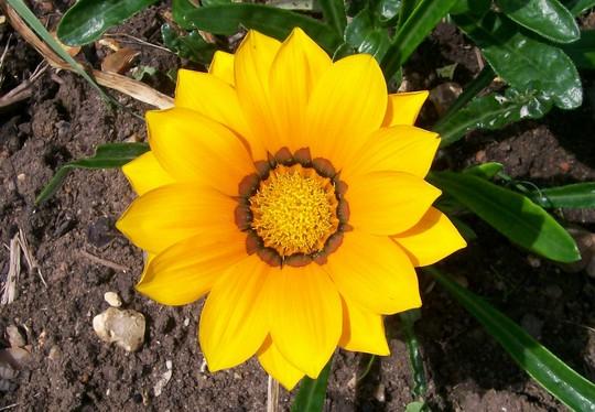 Yellow Gazania (Gazania)