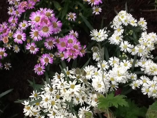 Aster vimineus. Small white. Small pink. (Aster vimineus)