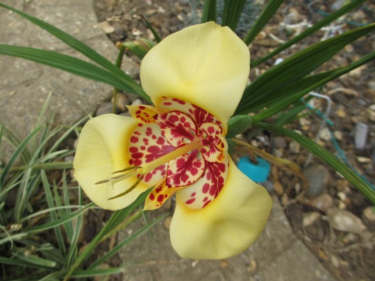First flower on Tigridia (Tigridia pavonia (Tiger flower))