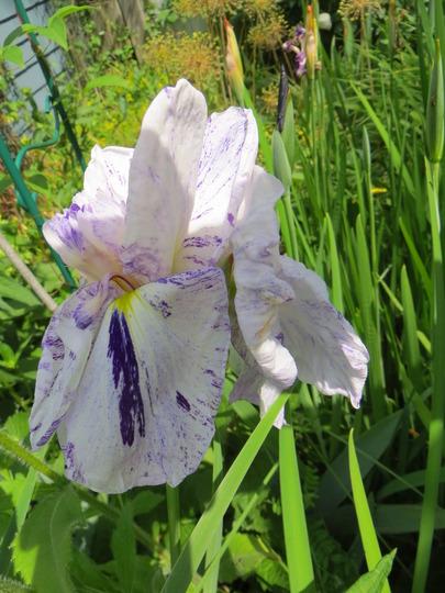 Freckled Geisha iris ensata (iris ensata)