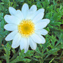marguerite - yellow/white