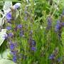 Hyssopus officinalis - Hyssop. (Hyssopus officinalis (Hyssop))