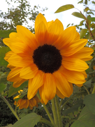 Sunflower-Copper Queen