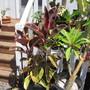 'Ruby' Ficus. (Ficus elastica (Assam Rubber)  'Ruby')