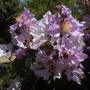 Lagerstroemia speciosa  -   Queen's Crape-Myrtle Flowering (Lagerstroemia speciosa  -   Queen's Crape-Myrtle)