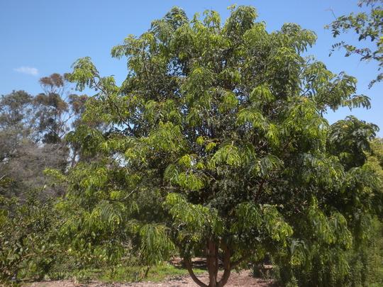 Tamarindus indica - Tamarind Tree (Tamarindus indica)