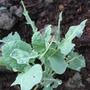 Romanesco Broccoli (Brassica oleracea (Italica) (Broccoli))