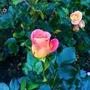 Castlebank rose garden
