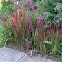 Imperata_cylindrica_red_baron_2015