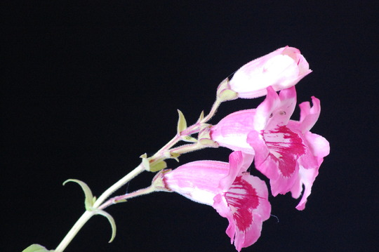 Pink Penstemon from a cutting