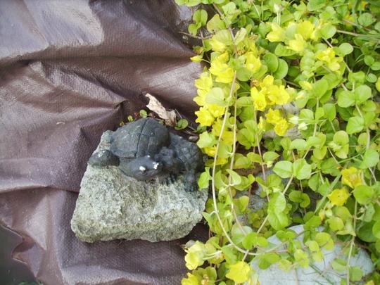 Creeping Jenny in flower 07.08 (Lysimachia nummularia)