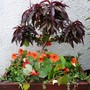 Peach Tree with friendly nasturtiums (Prunus persica (Peach / Nectarine))