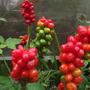 arum berries