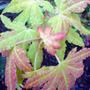 acer palmatum 'sango-kaku' (Acer palmatum)