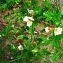 Eucryphia glutinosa 'Nana' - 2015 (Eucryphia glutinosa 'Nana')