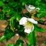Eucryphia glutinosa 'Nana' (close-up) - 2015 (Eucryphia glutinosa 'Nana')