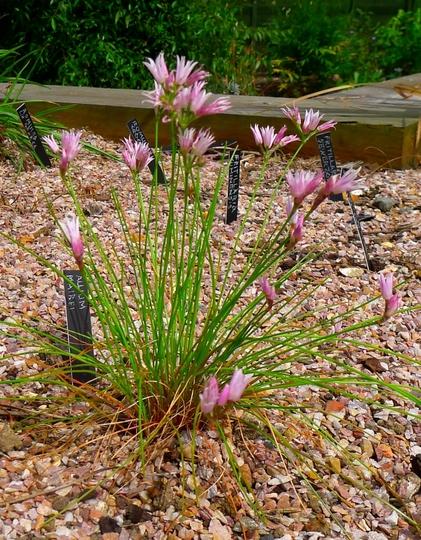 Allium mairei - 2015 (Allium mairei)