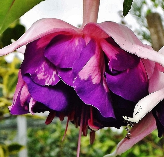 Fuchsia - Royal Mosaic