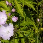 Sidalcea 'Elsie Heugh' for my records (Sidalcea malachroides)